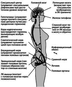 мышцы женщины